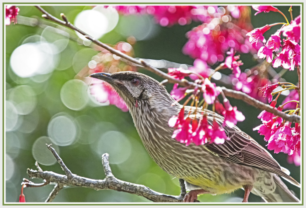 Honey eater - Red Wattle Bird on pink winter bloss