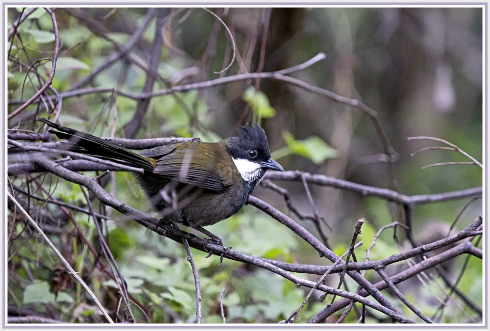 Australian Eastern whipbird