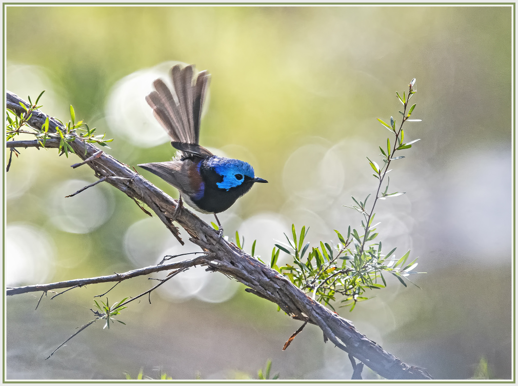 Male blue fairy wren