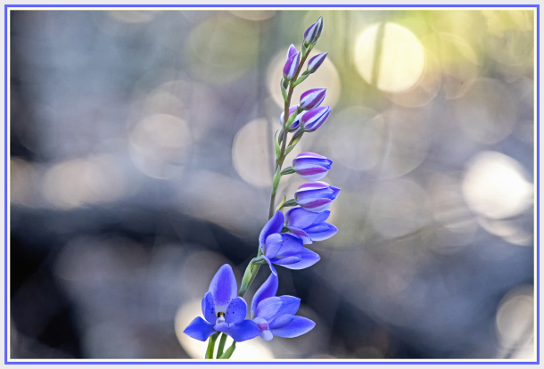 blue wild orchid - thelymitra megacalyptra