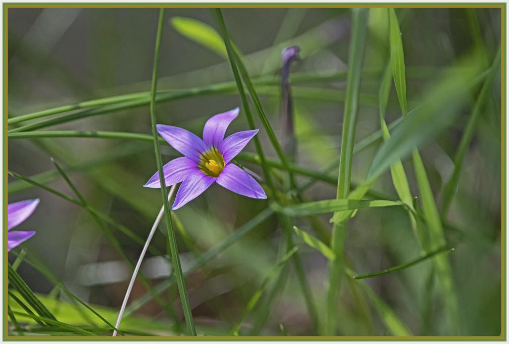 Magenta wild flower - romulea rosea