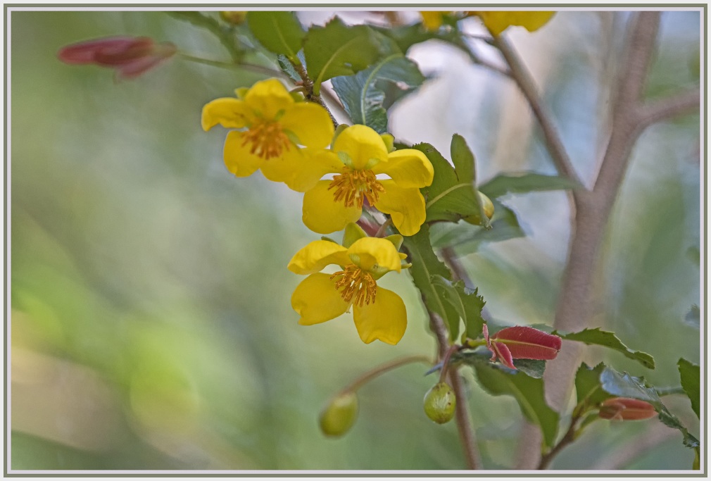 Ochna Serrulata Mickey Mouse Flower