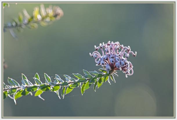 spider flower - Grevillea buxifolia - Australian n
