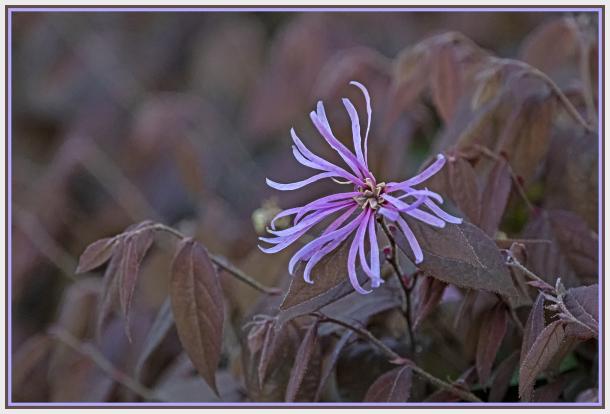 Pink Chinese Fringe Flower