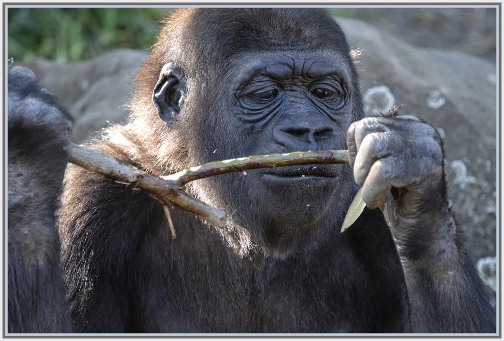 gorilla happy meal in Taronga Zoo Sydney
