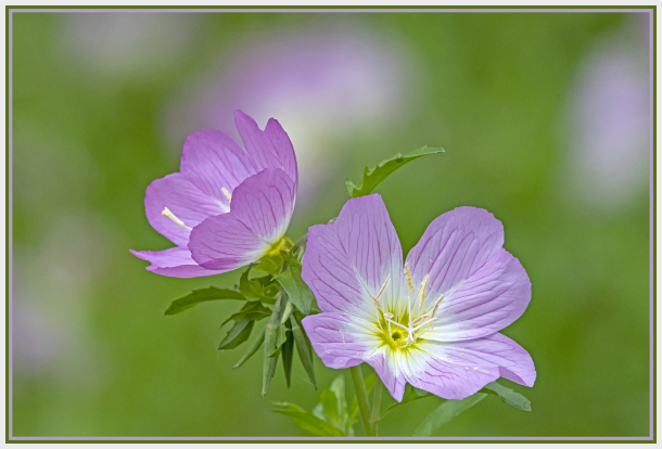 pink flower - oenothera speciosa