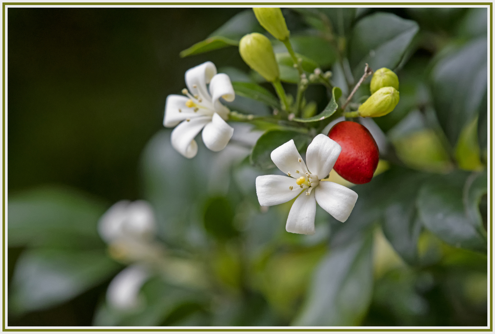 white flower - red seed - murraya paniculata