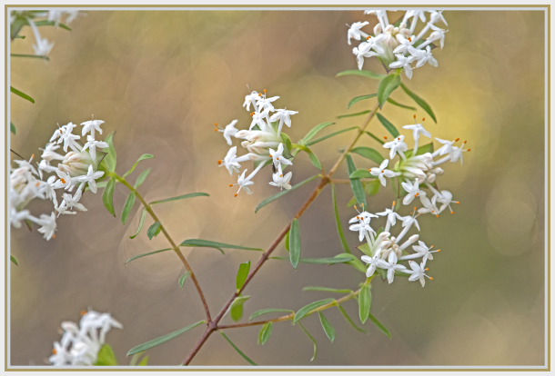 white rice flower - Pimelea linifolia
