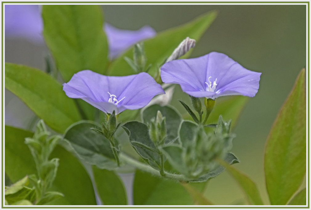 purple flower - convolvulus