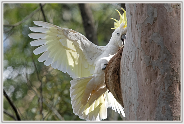 cockatoo working on a tree trunk