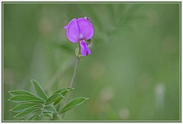Wild Pea - Lathyrus vestitus ssp. alefeldii