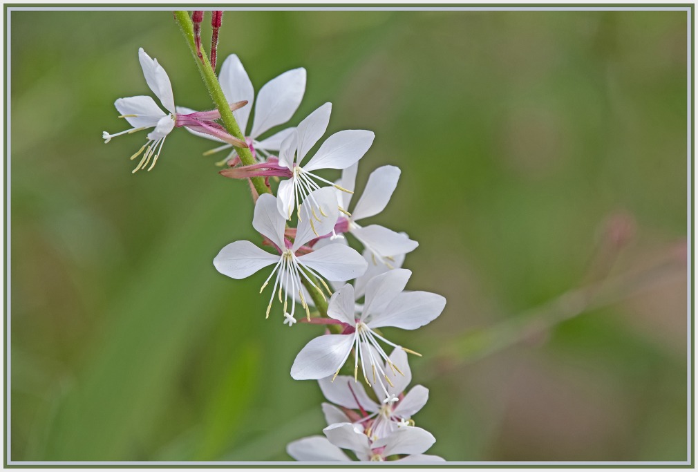 white flower - gaura lindheimer