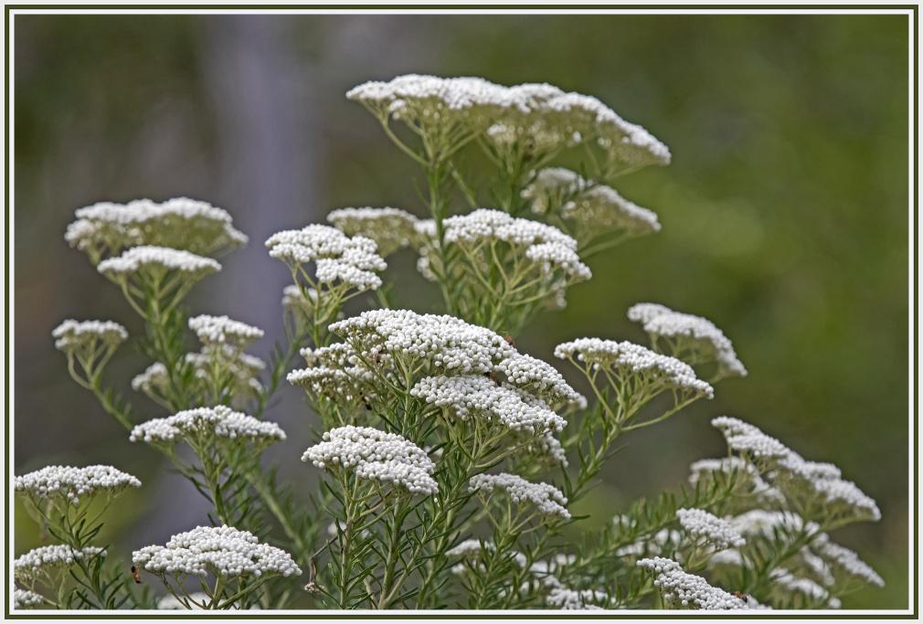 Sago flowers (Ozothamnus diosmifolius)