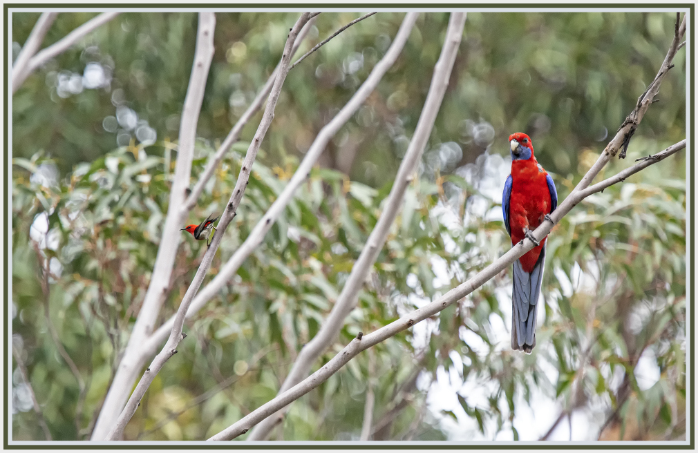 I did not see the scarlet honeyeater
