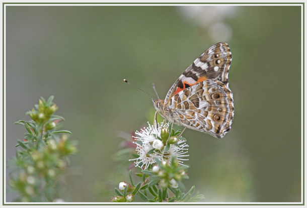 butterfly on white flower -  kunzea ambigua