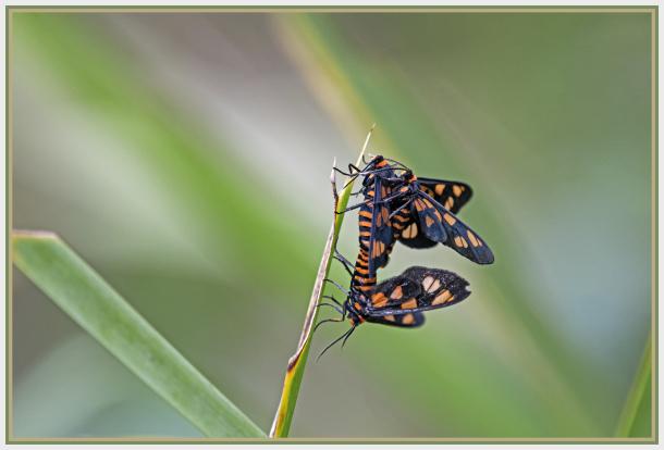 tiger moths
