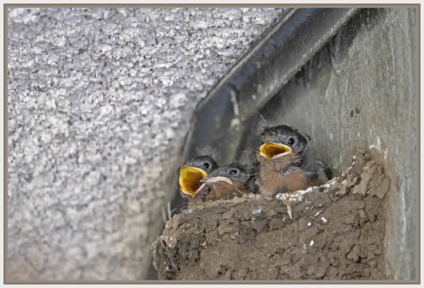 swallow babies