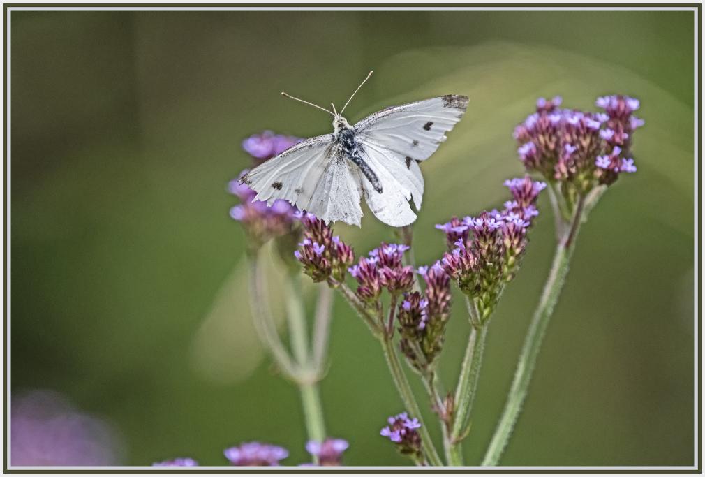 white butterfly flying over wild flower