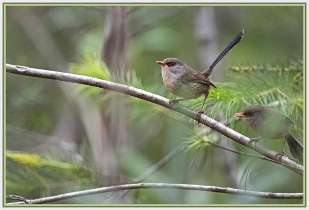 Two female fairy wrens