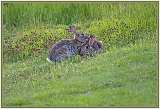 Intimate moment of rabbits