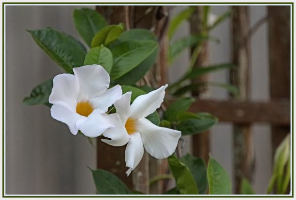 white climber - Pandorea jasminoides