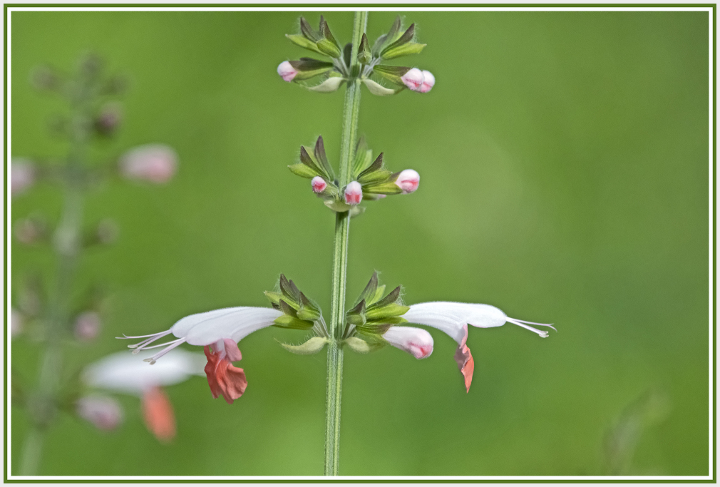pink and white flower - salvia coccinea