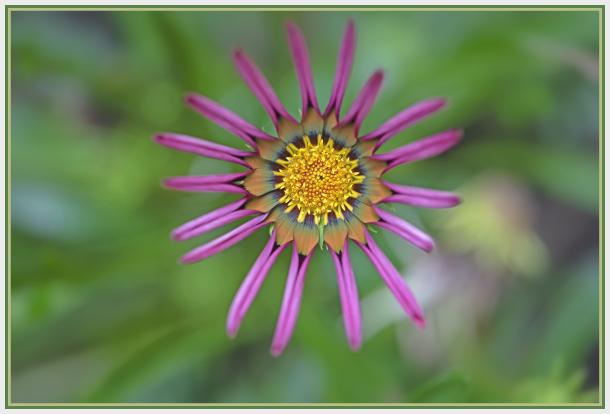 Colourful daisy