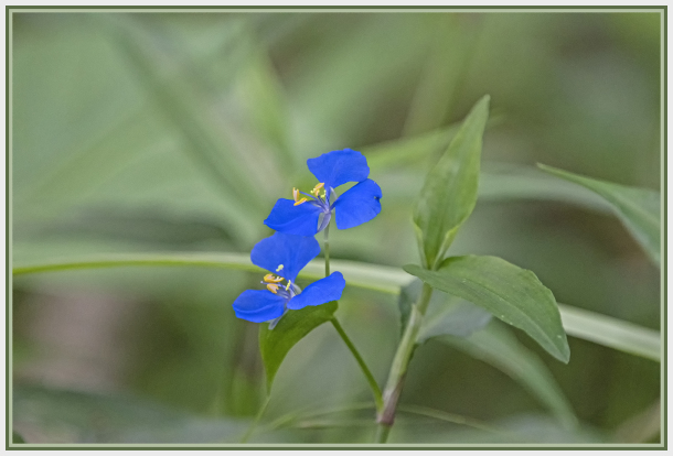 small blue wildflower Australia- Commelina cyanea