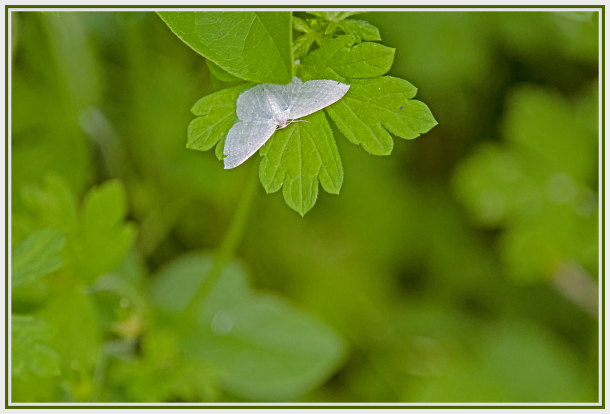 White moth on green leave