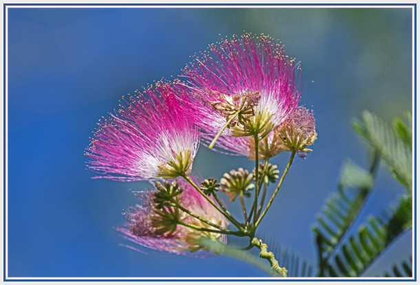 pink mimosa flower