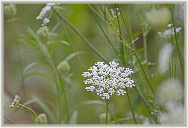 Queen Anne lace flower