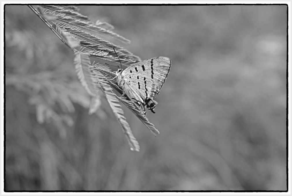 imperial blue butterfly