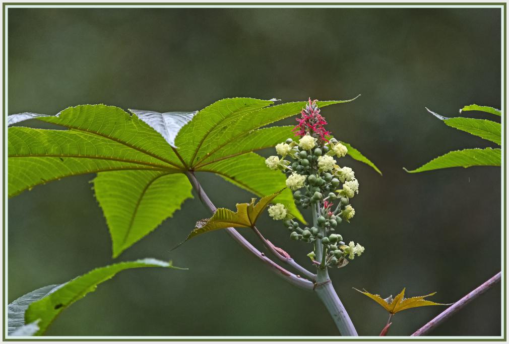 ricinus communis flower in the rain