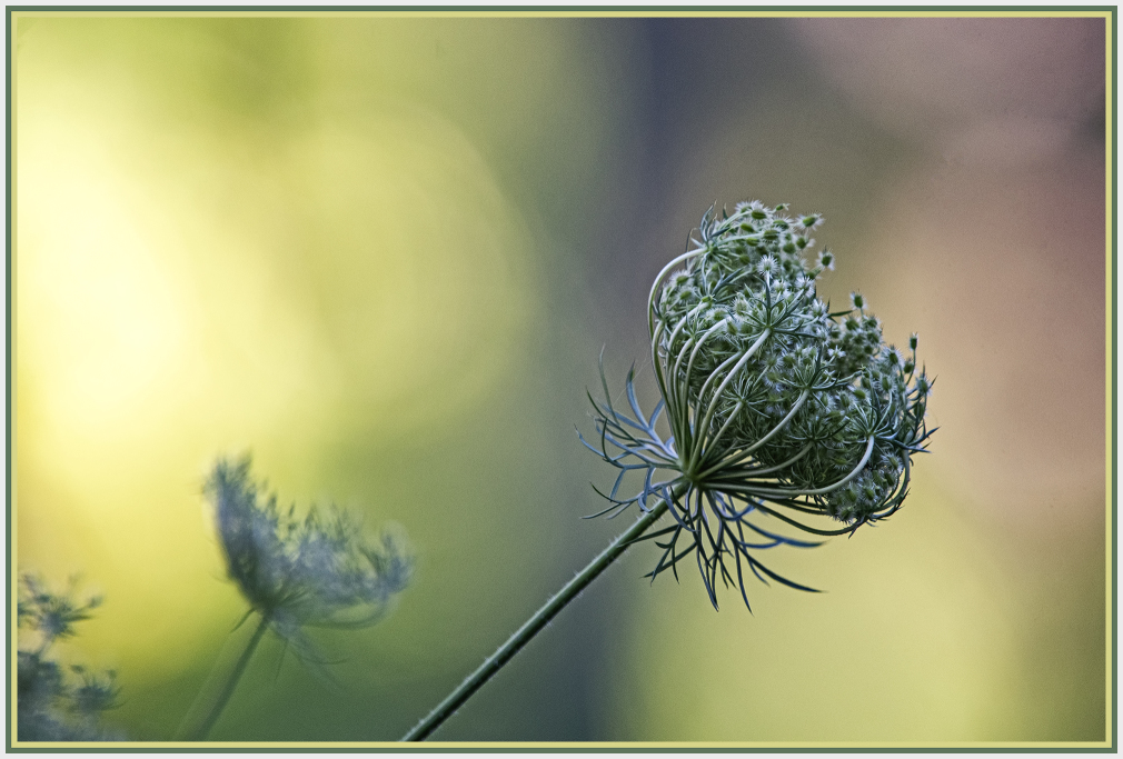 Queen Anne lace flower