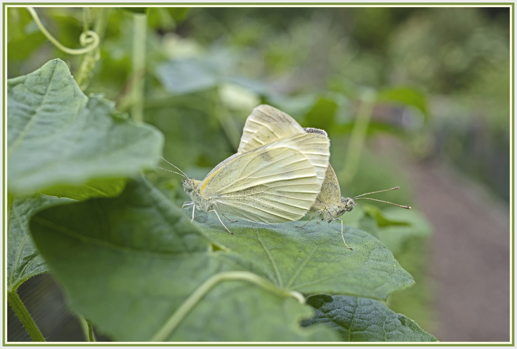 two cabbage white butterflies