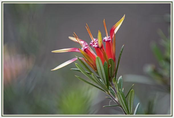 red flower - mountain devil -Lambertia formosa