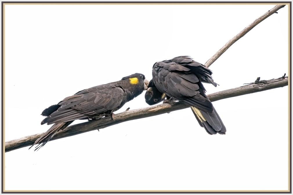 A pair of black cockatoo