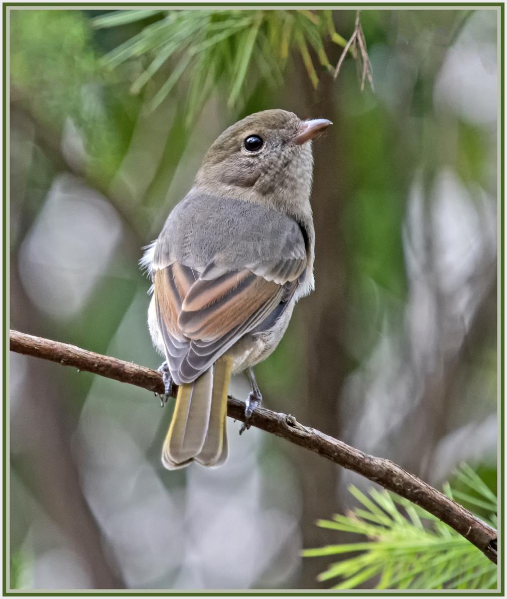 Little Shrike thrush