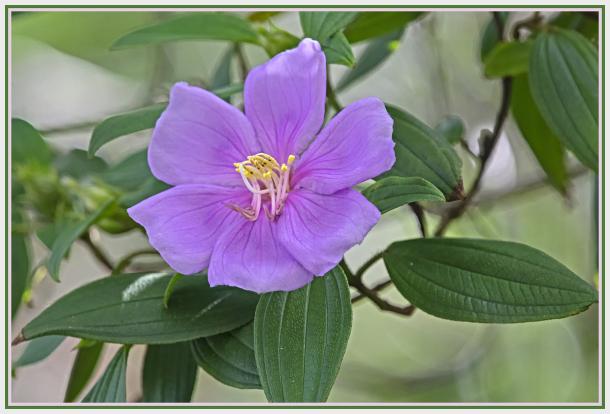 purple flower - Tibouchina Alstonville - Glory Bus
