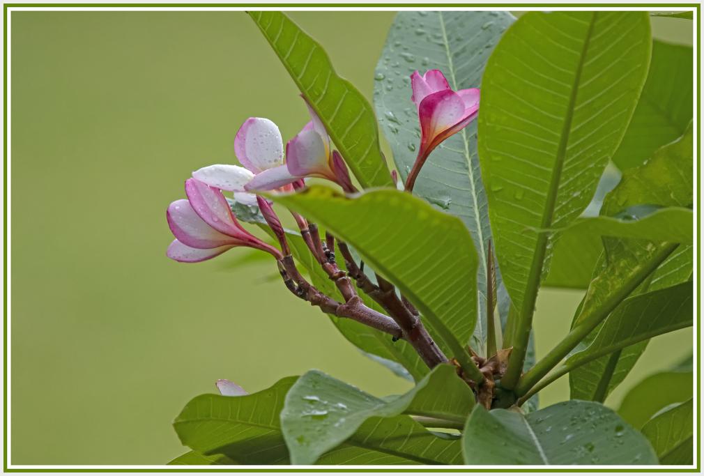 pink frangipani in the rain