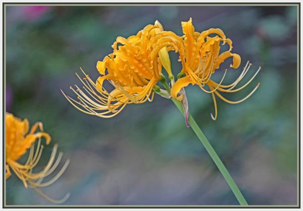 yellow lily gloriosa