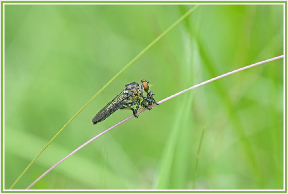 catch of butcherfly