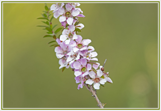 leptospermum squarrosum - myrtaceae - tea tree
