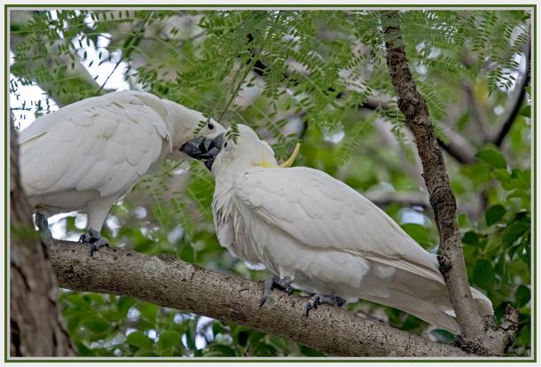 Cockatoos in love