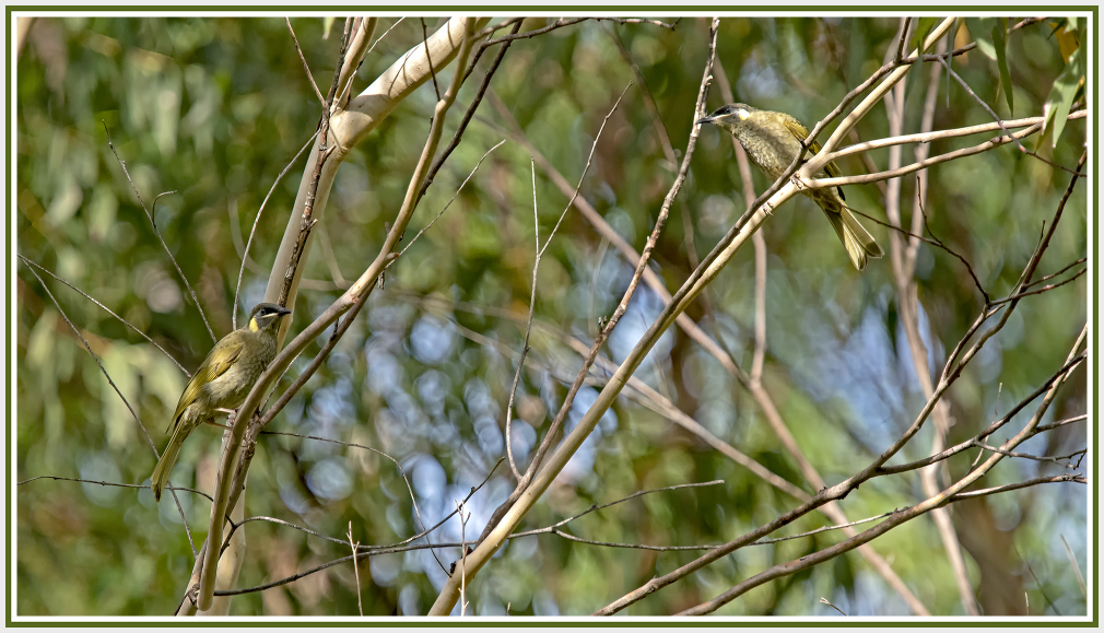 A pair of yellow faced honeyeater