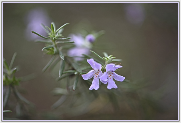 purple flower - Westringia fruticosa