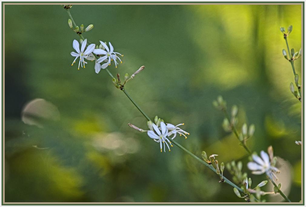 white flower - Chlorophytum comosum - spider plant