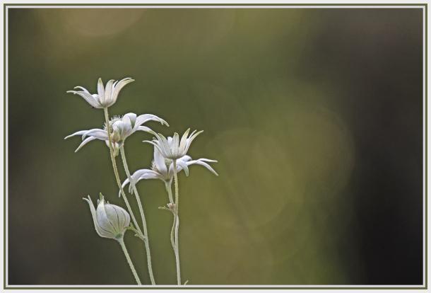 White flannel flower - Actinotus helianthi