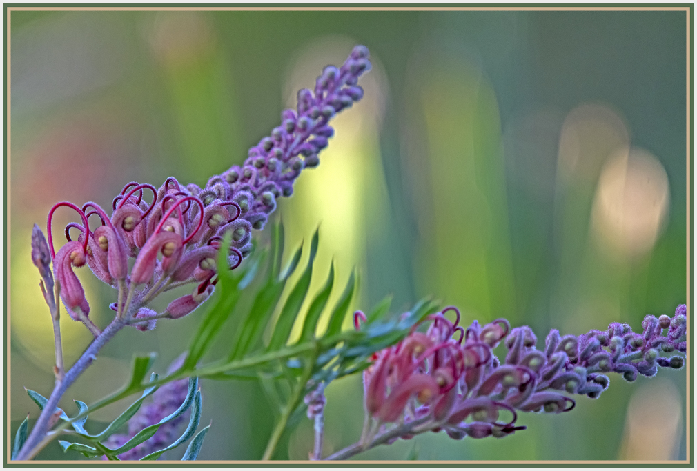 grevillea robyn gordon