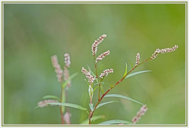 water plant - paersicaria lapathifolia - pale knot